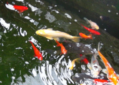 函館熱帯植物園4コイ